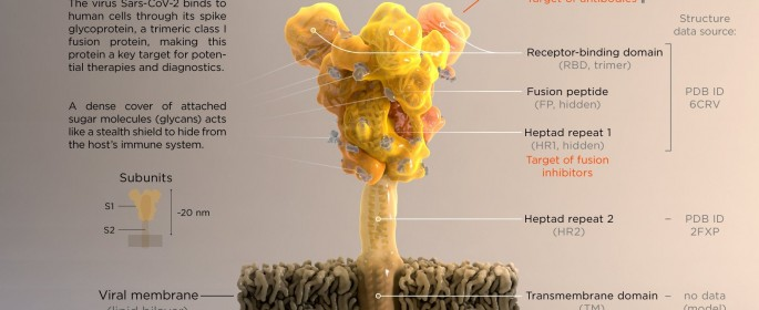 Coronavirus-S-Protein